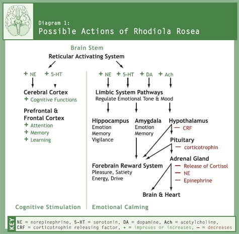 Possible Actions of Rhodiola Rosea