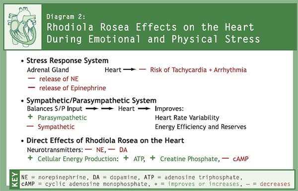 Rhodiola Rosea Effects on the Heart During Emotional and Physical Stress