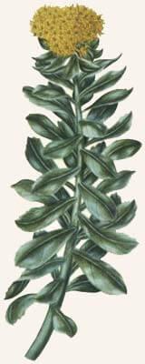 Rhodiola Rosea Illustration